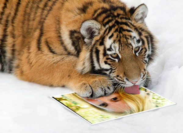 Licking Tiger